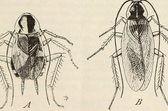 "- Image from page 6 of ""Cockroaches and their control"" (1937) Internet Archive book image"